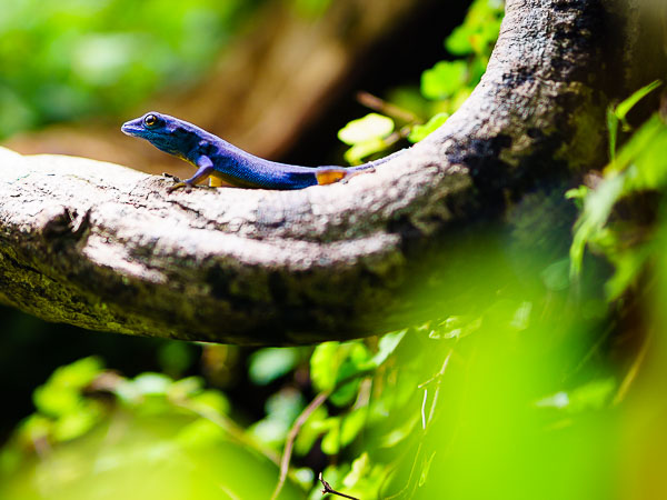 Electric blue day gecko at the Oslo Reptilpark