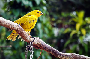 Finch at Bloedel Conservatory, Vancouver